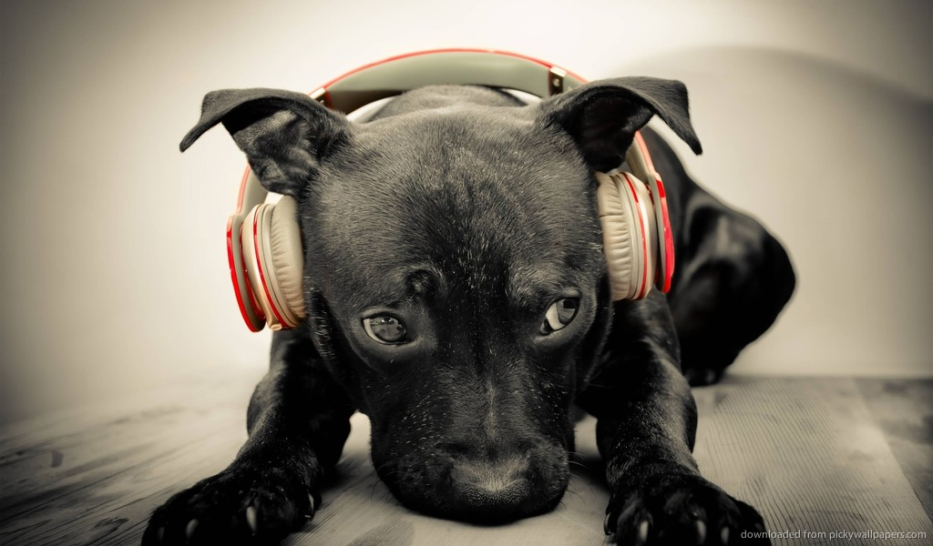Download 1024x600 Dog Listening To Red Beats By Dre Solo HD Wallpaper