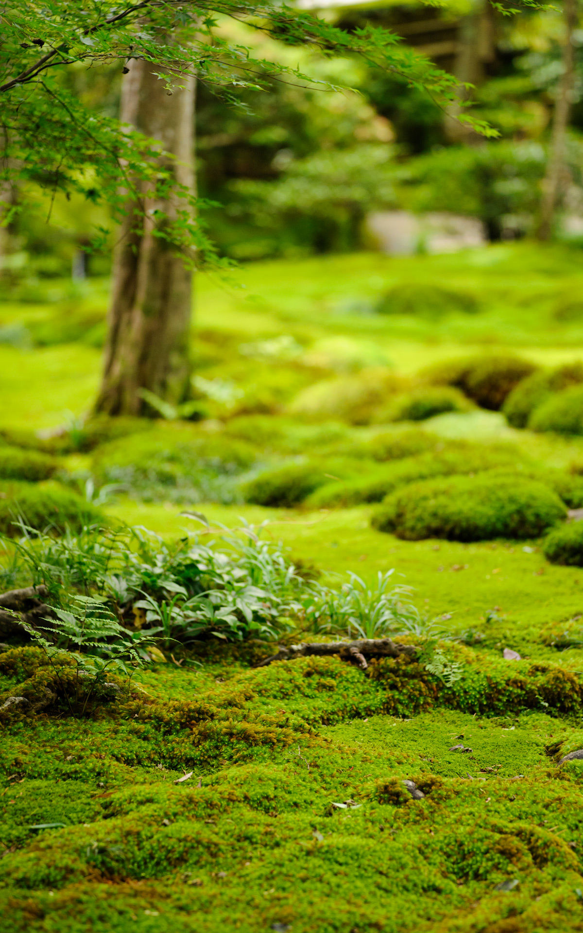 Jeffrey Friedl's Blog » More From the Gioji Temple: Lotsa Moss and