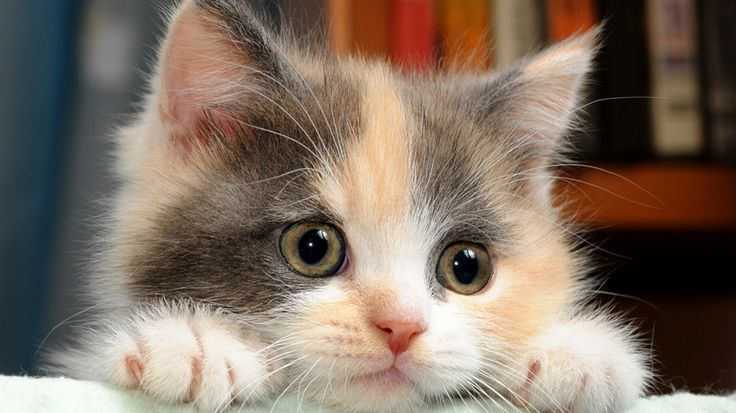 39 units of Cute Cat Wallpapers