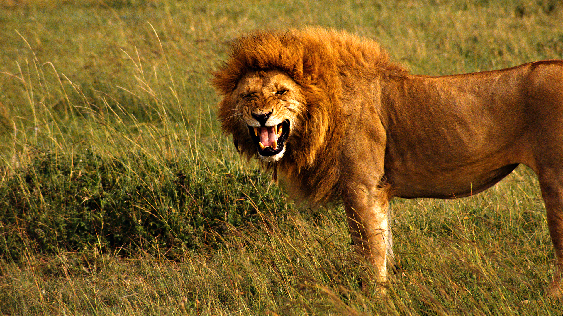 Free Download Lion HD Wallpapers 1080p