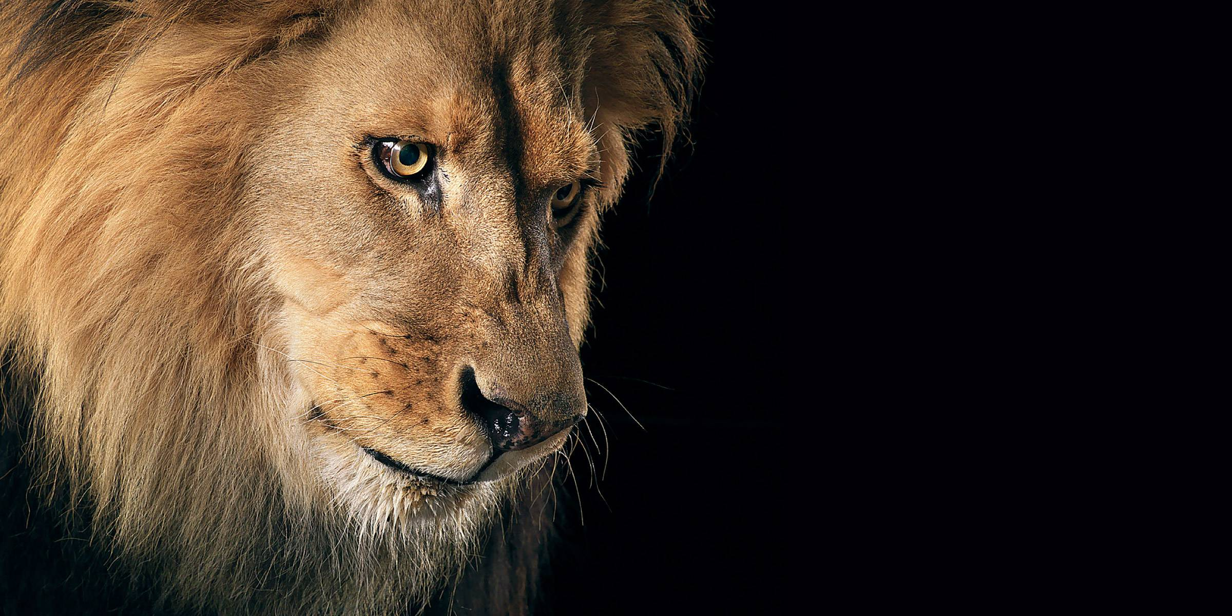 946 Lion HD Wallpapers | Backgrounds - Wallpaper Abyss