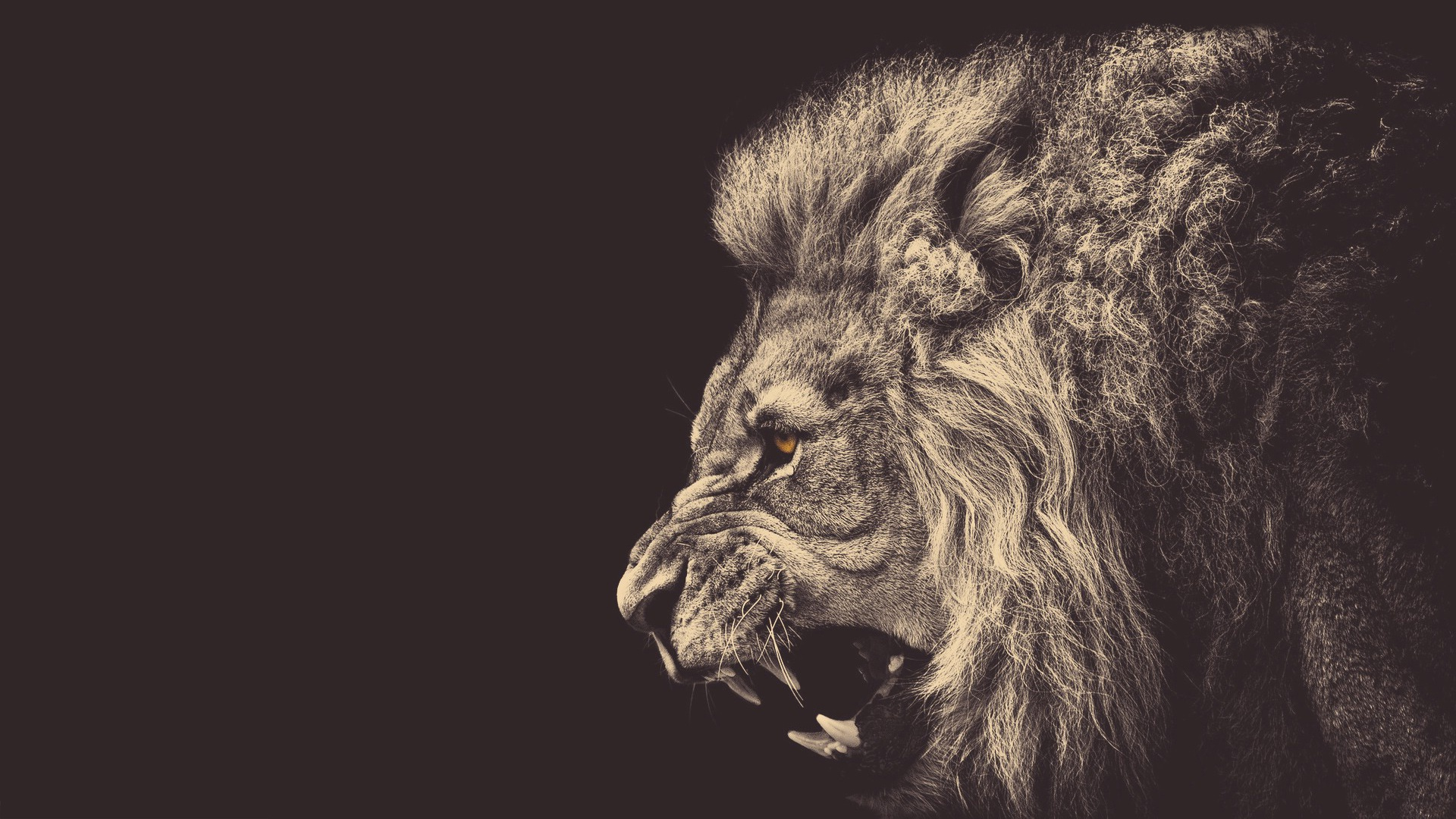 Angry Lions HD Wallpapers | WallpapersCharlie