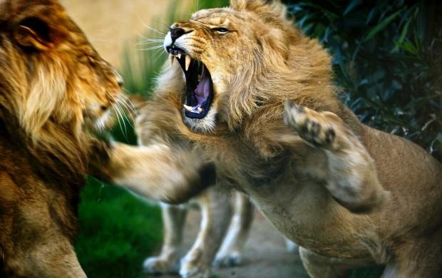Lion HD Wallpapers, Free Wallpaper Downloads, Lion HD Desktop