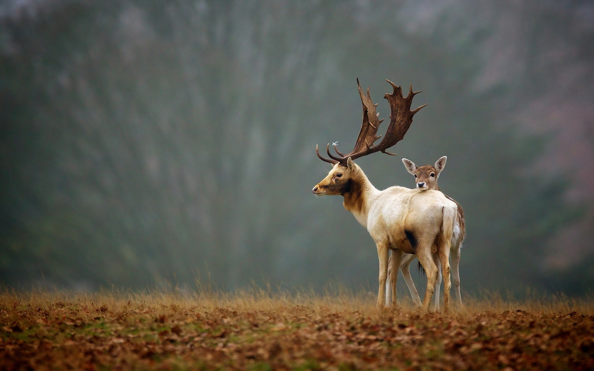 deer-animals-nature-hd-wallpaper - Magic4Walls com