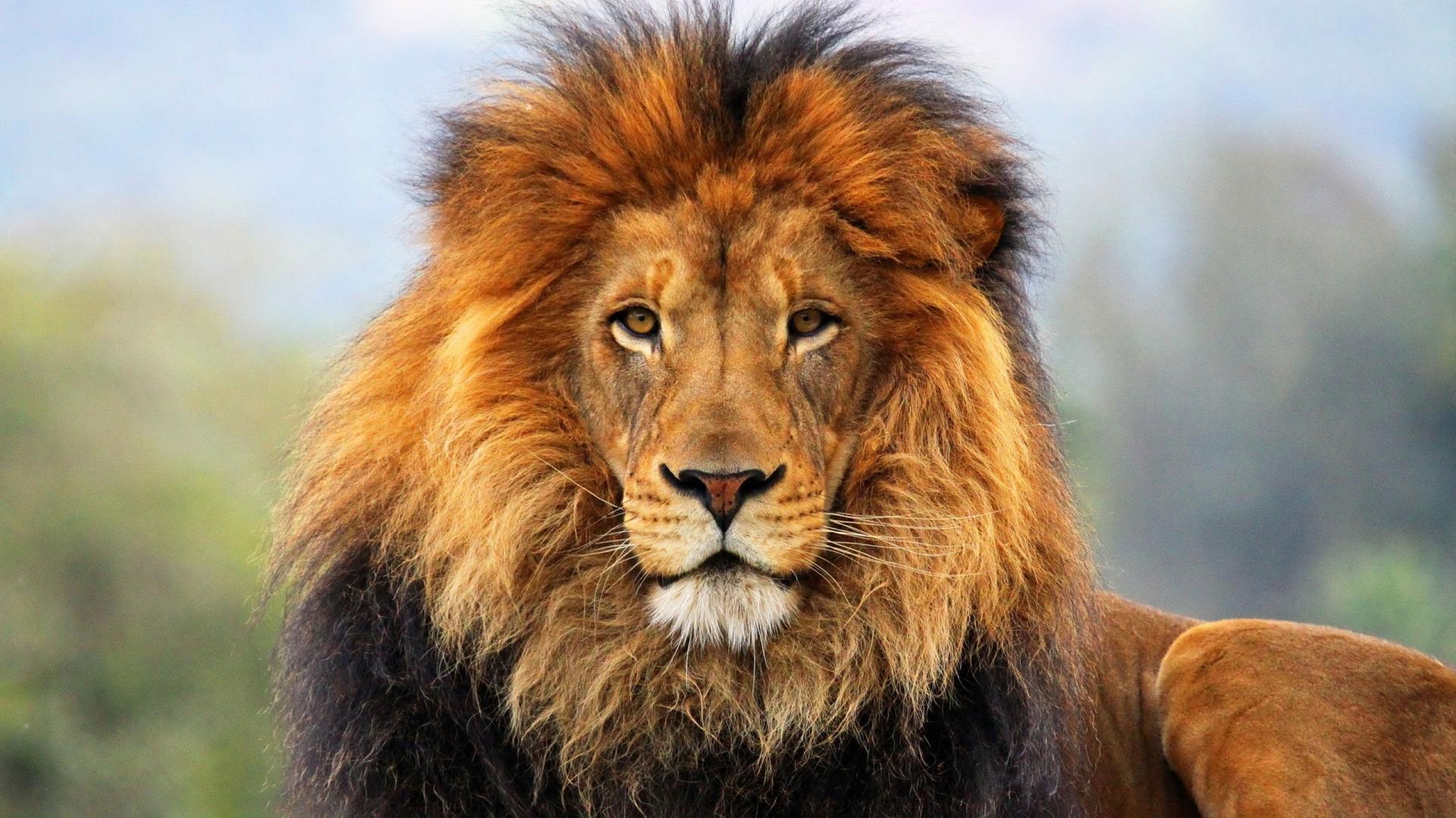 Lion HD Wallpapers - WallpaperSafari