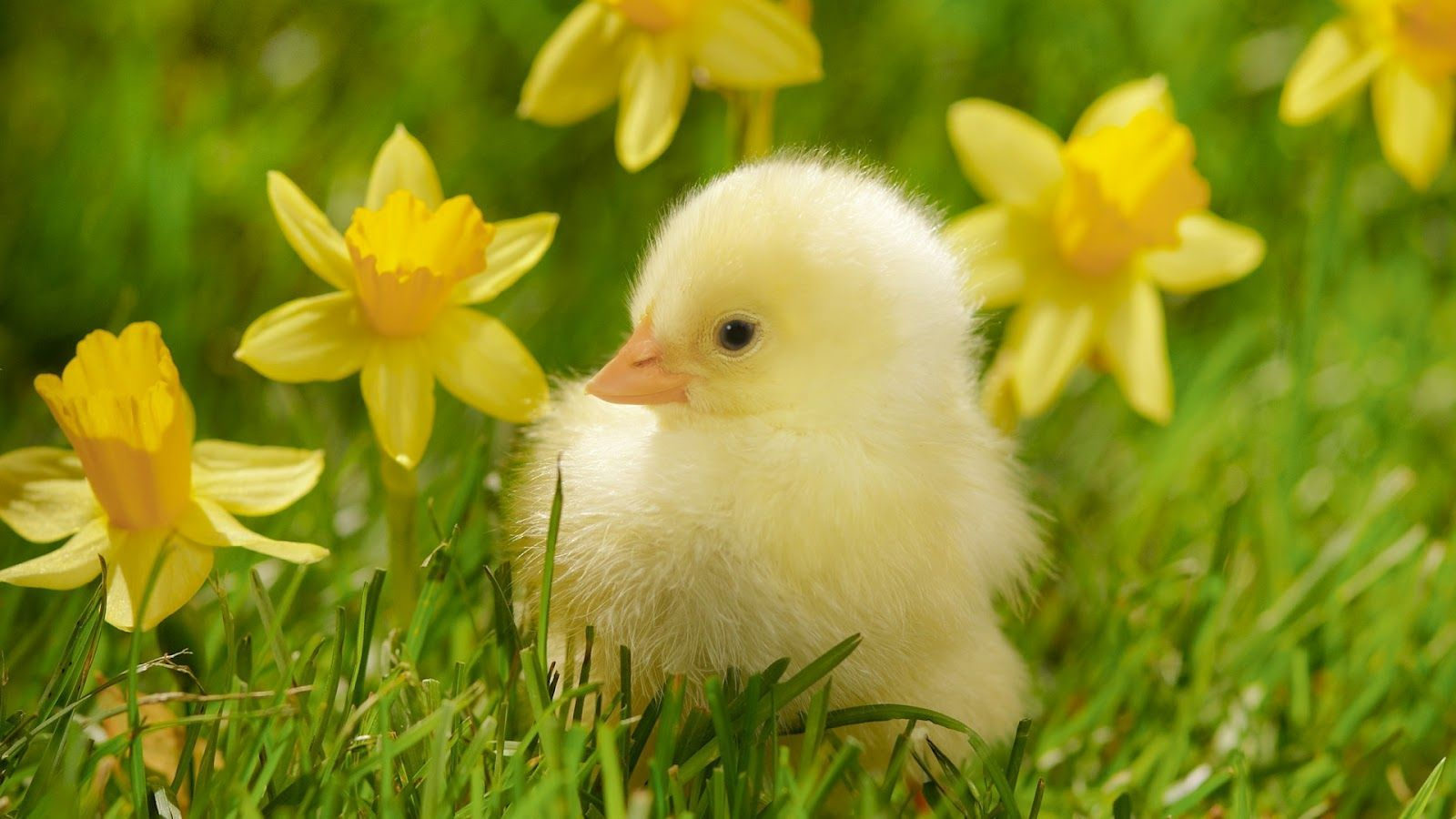 Baby Animal Wallpapers Group (60+)