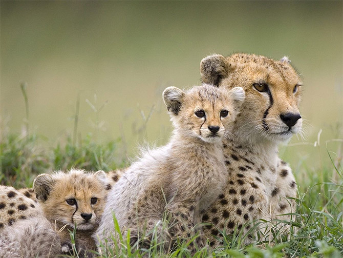 Cute Alert: Cheetah Cub Photos - AmO Images - AmO Images