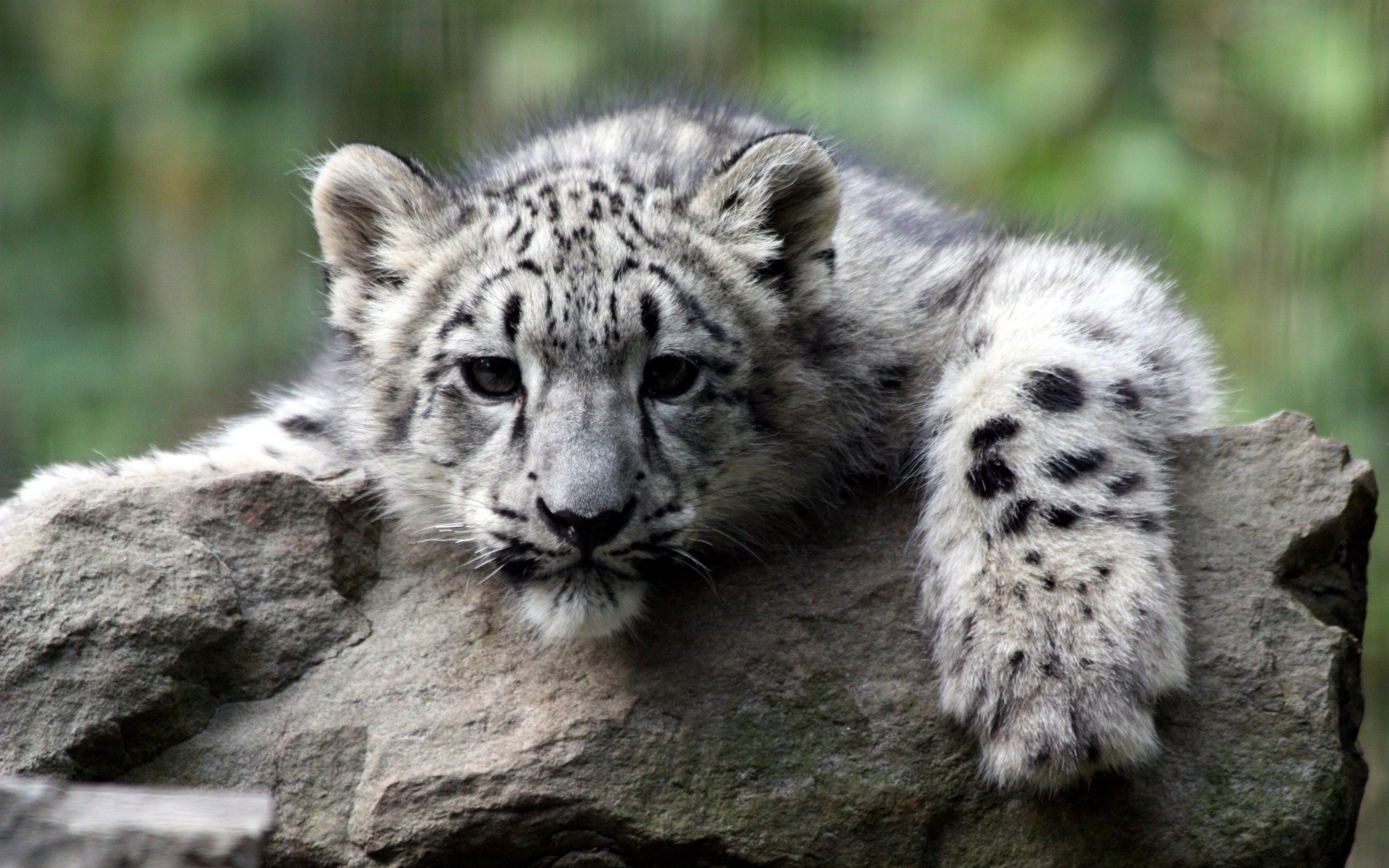 Baby Cheetah Wallpapers Background - Wickedsa com