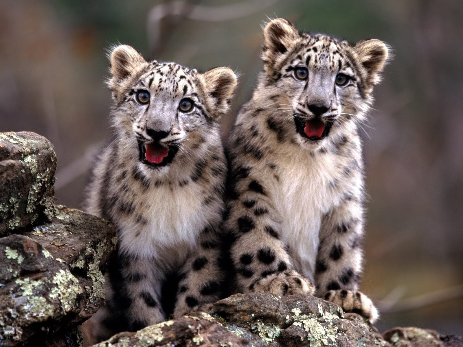 Baby Cheetah Wallpapers Android - Wickedsa com
