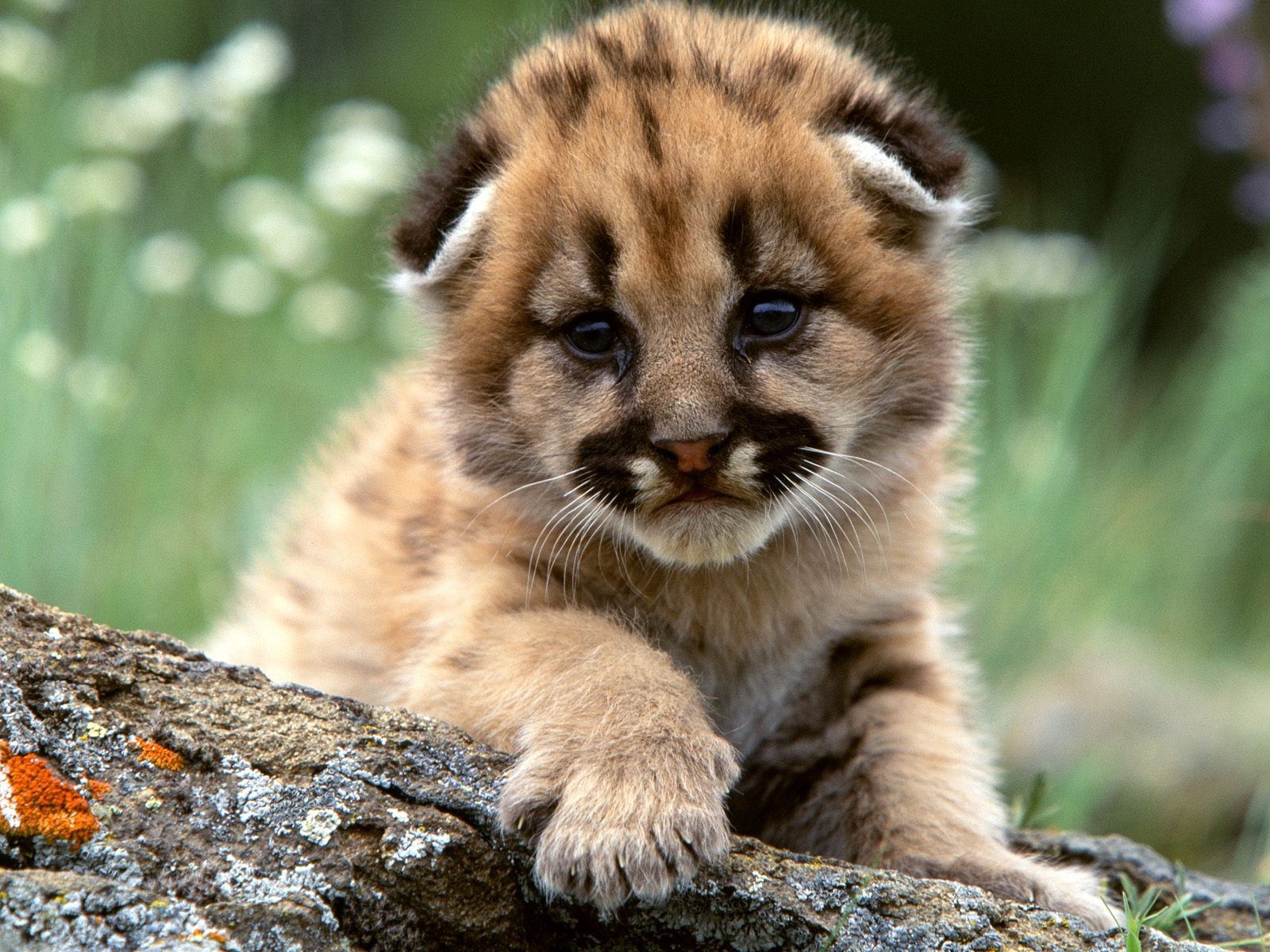 Baby Cheetah Wallpapers Picture - Wickedsa com