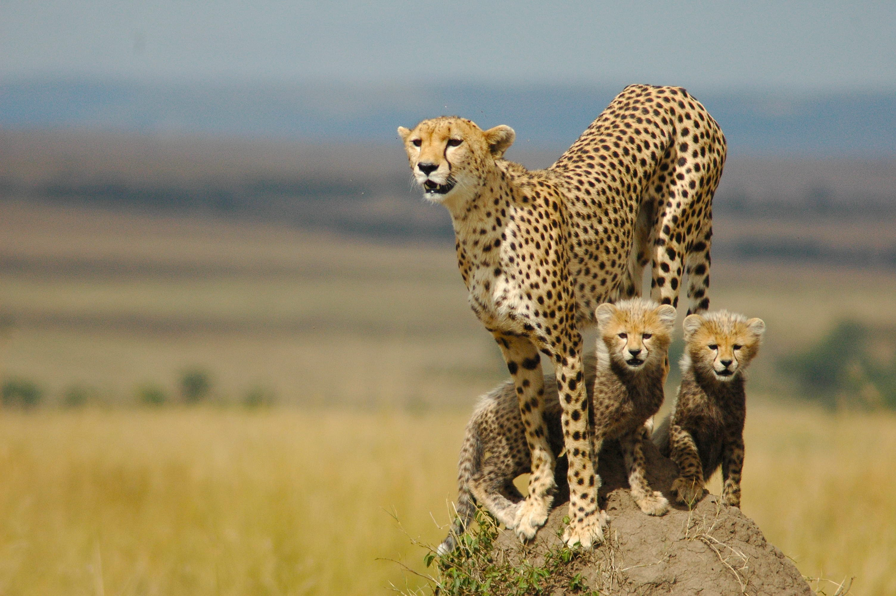 Baby Cheetah Wallpaper Phone - Wickedsa com