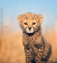 Baby Cheetah Wallpapers 236x354 - Full HD Wall