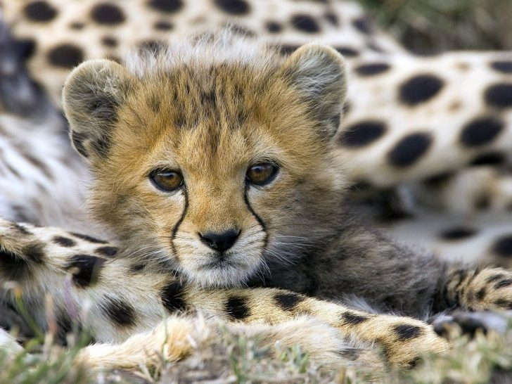 Baby Cheetah Wallpapers Iphone - Wickedsa com