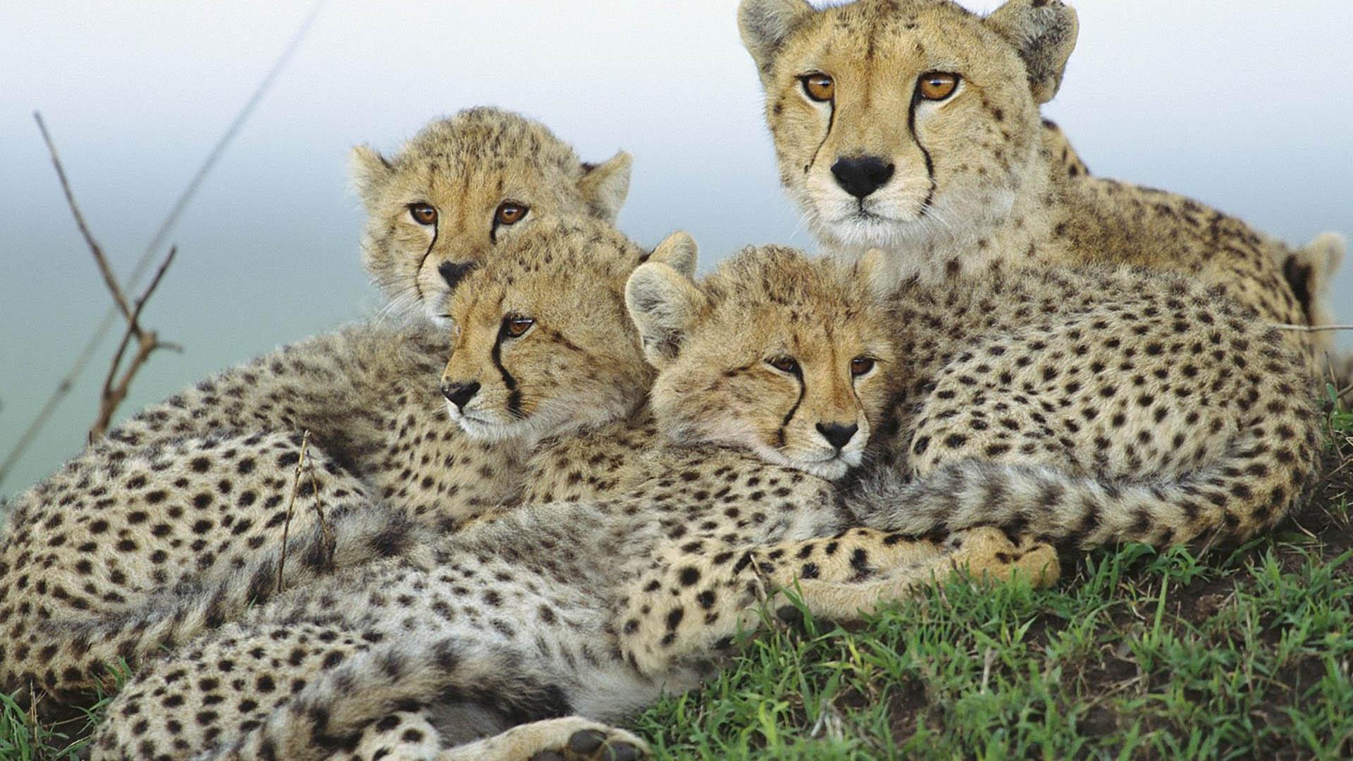 Baby Cheetah Wallpaper Images - Wickedsa com