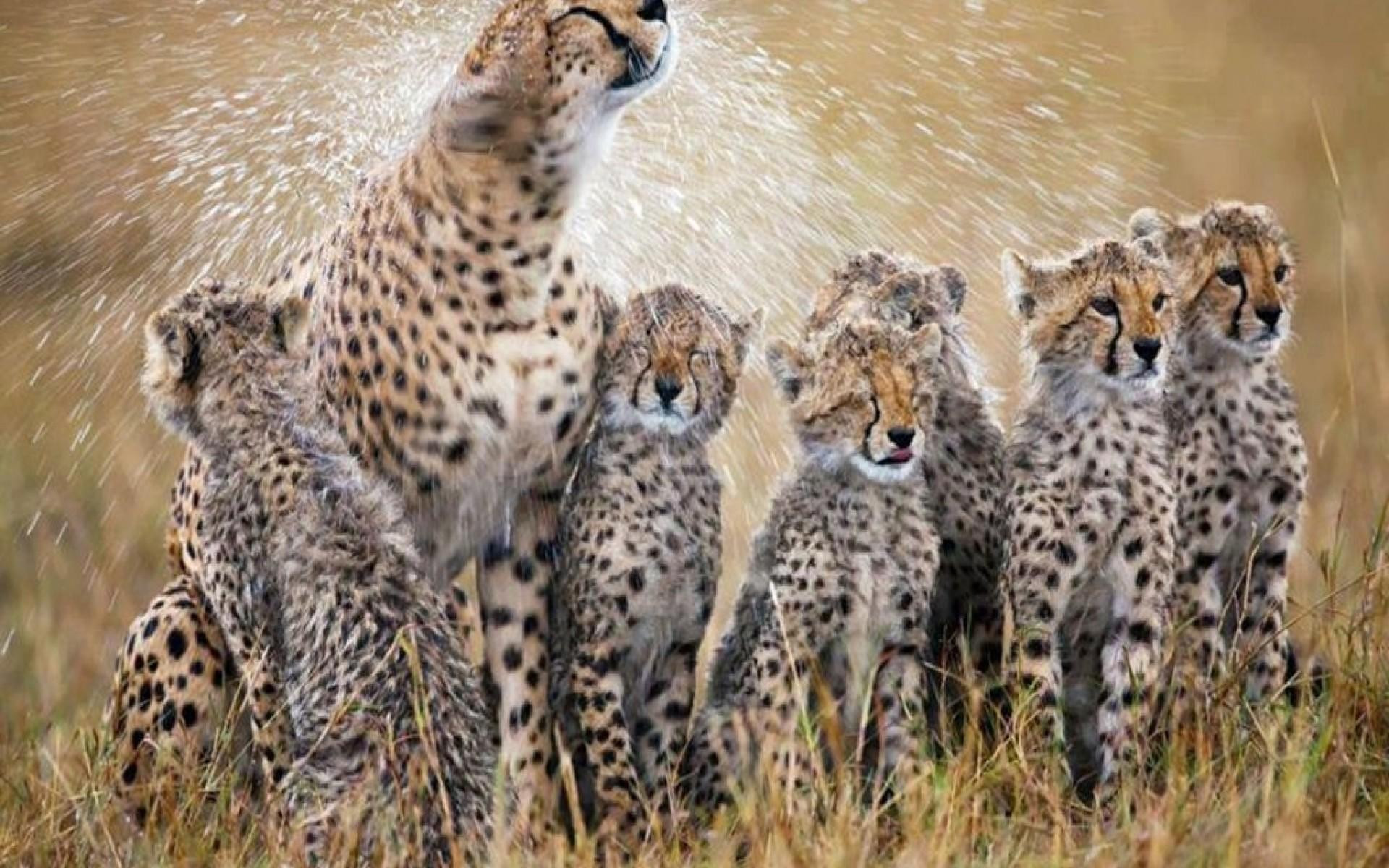 Baby Cheetah Wallpaper High Quality - Wickedsa com
