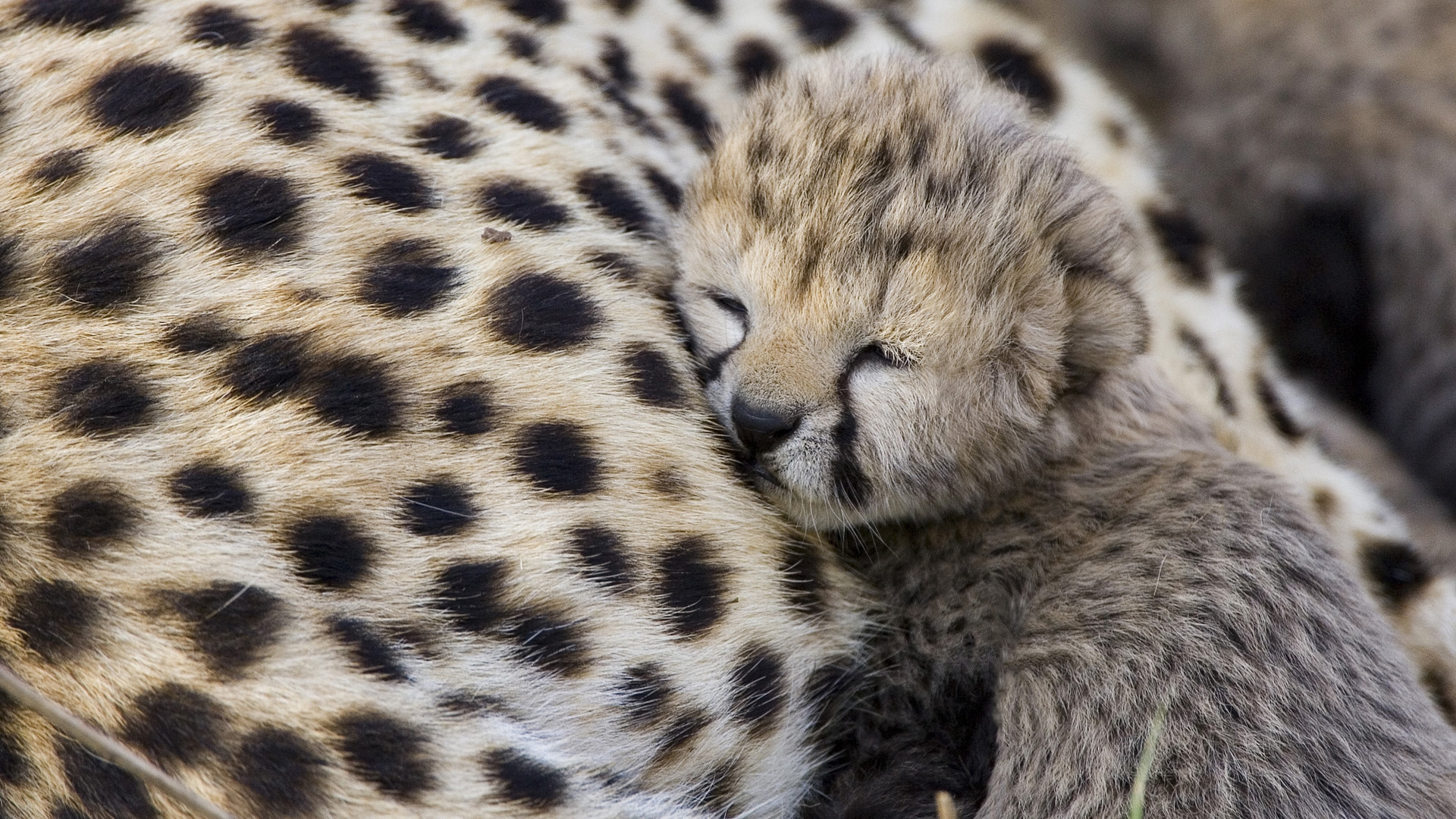 Baby Cheetah Wallpapers Group (68+)