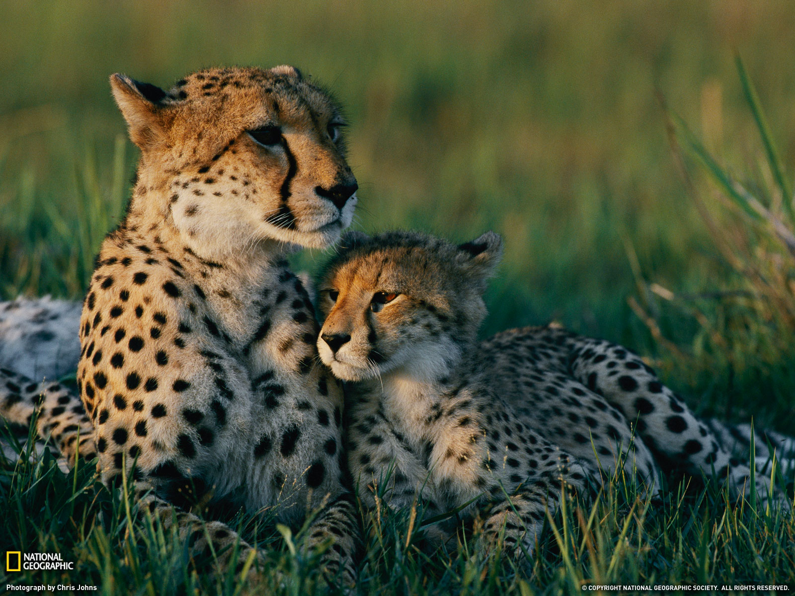 Baby Cheetah Wallpapers 1080p - Wickedsa com