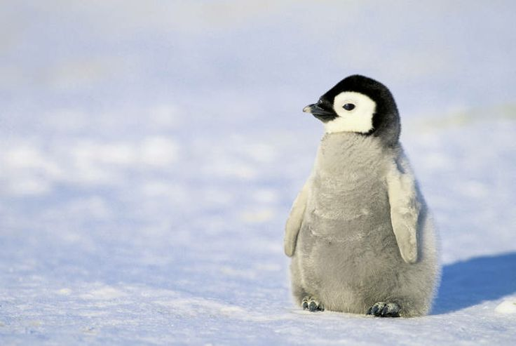 Baby Penguin Wallpaper - WallpaperSafari