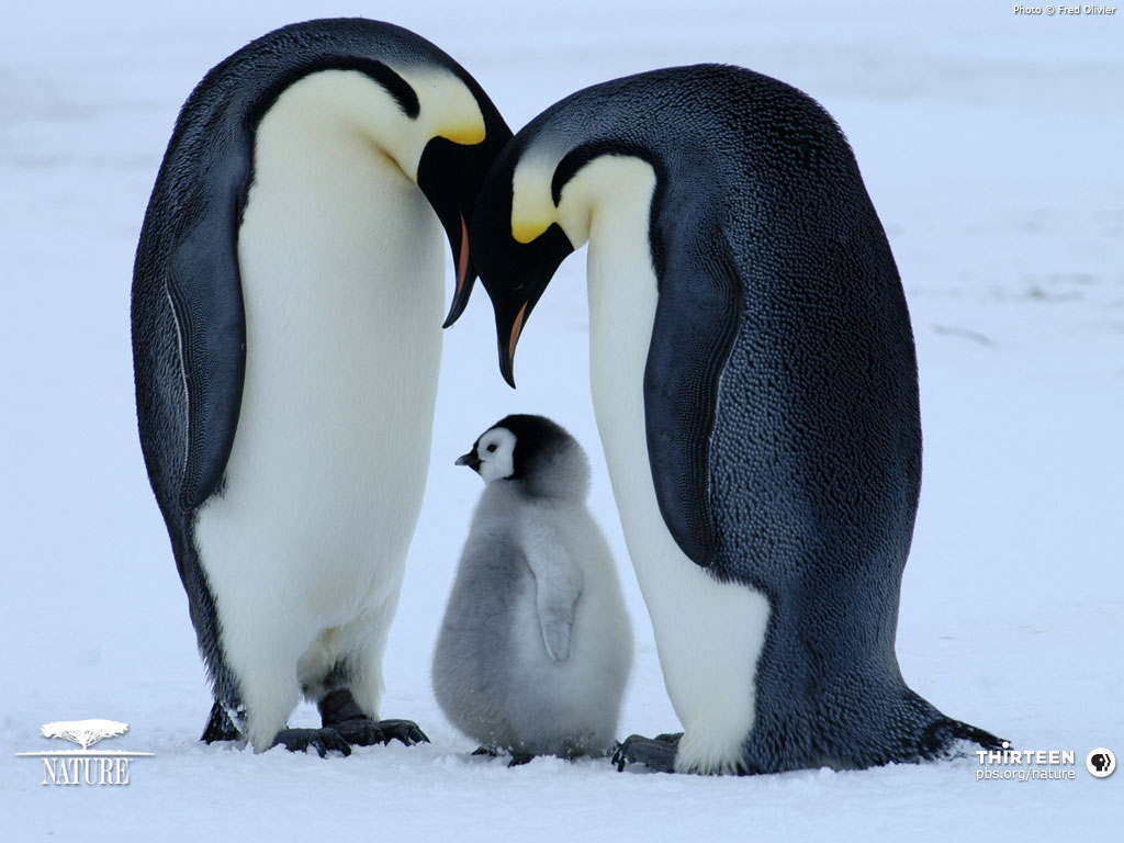 Baby penguin wallpapers | Baby Animals