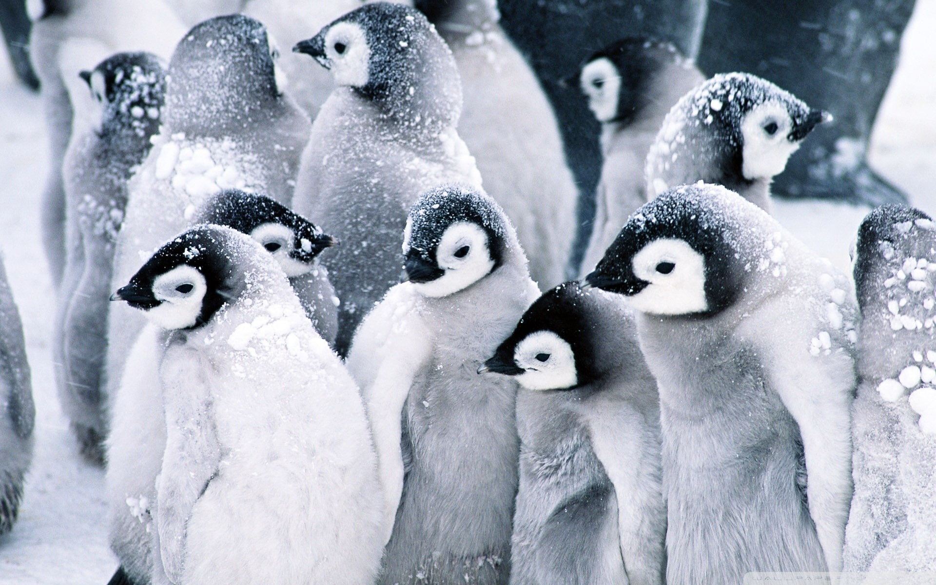 Baby Penguins HD desktop wallpaper : Widescreen : High Definition