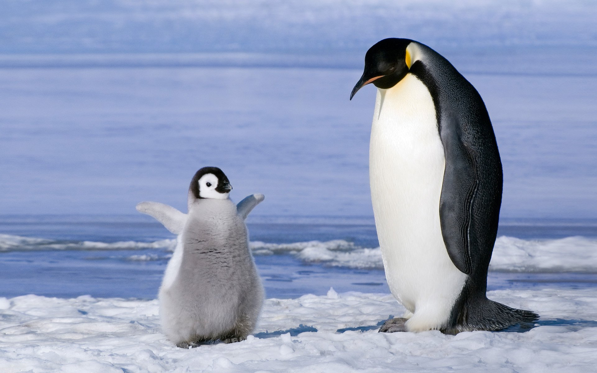 Baby Penguin Wallpapers Group (70+)