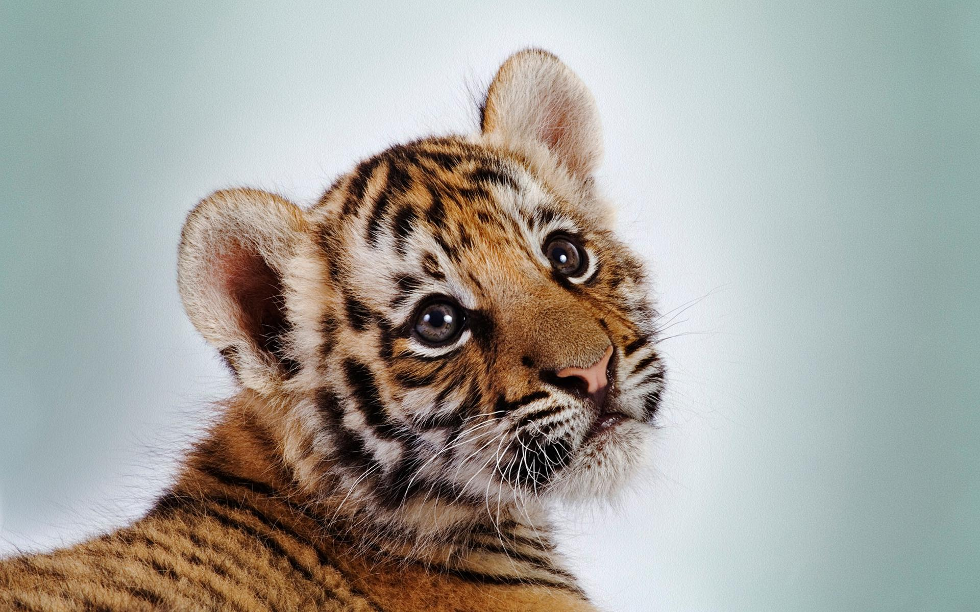 tiger baby wallpaper #2