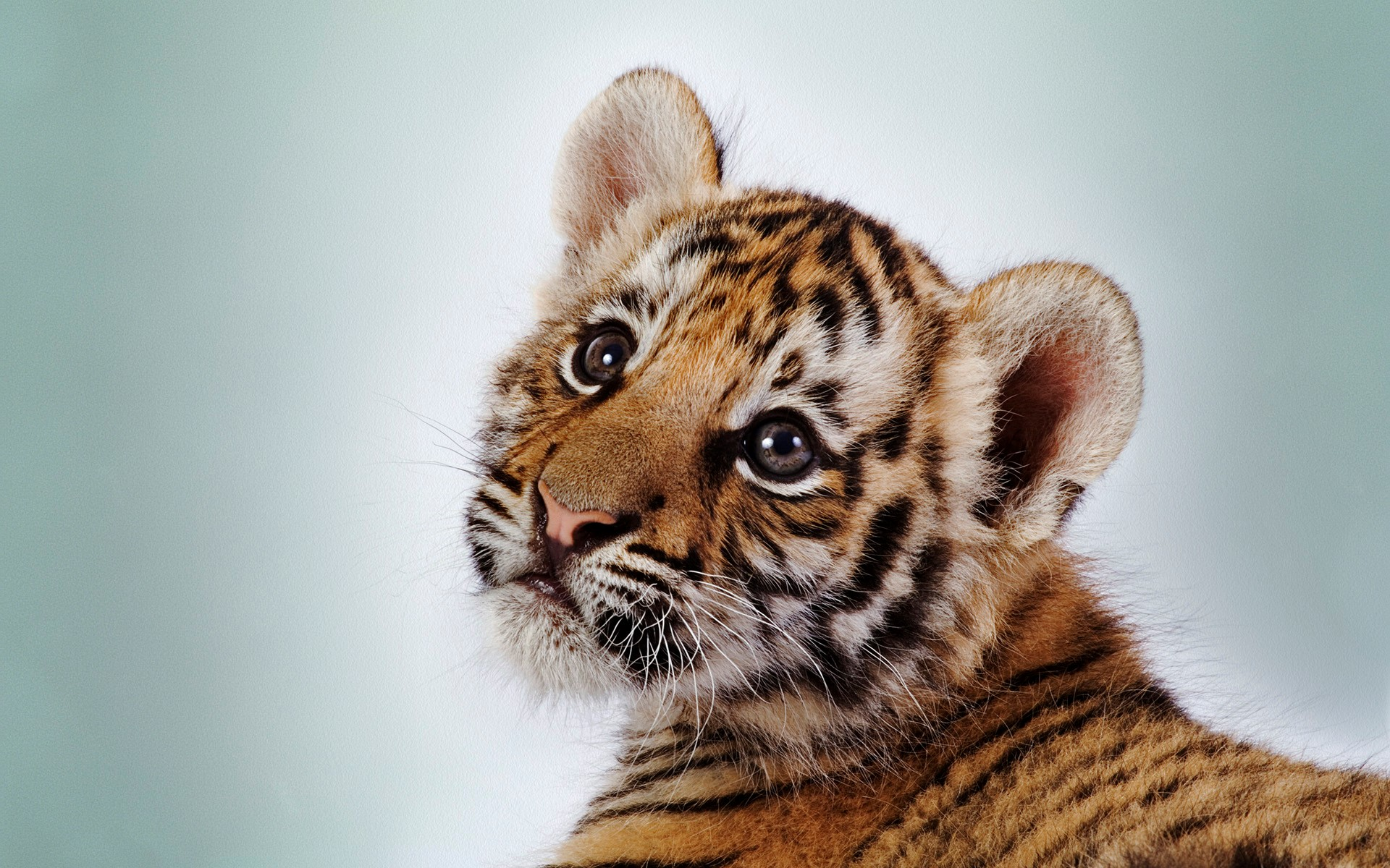 Tiger Wallpapers Free Download White Cute Cub Animal HD Desktop Images