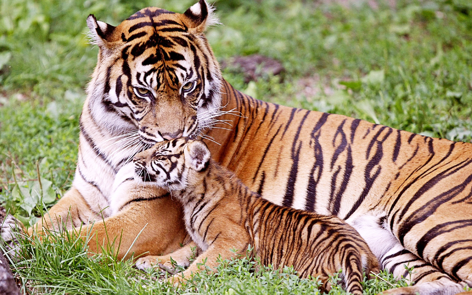 Tiger & Baby Tiger Wallpapers | HD Wallpapers