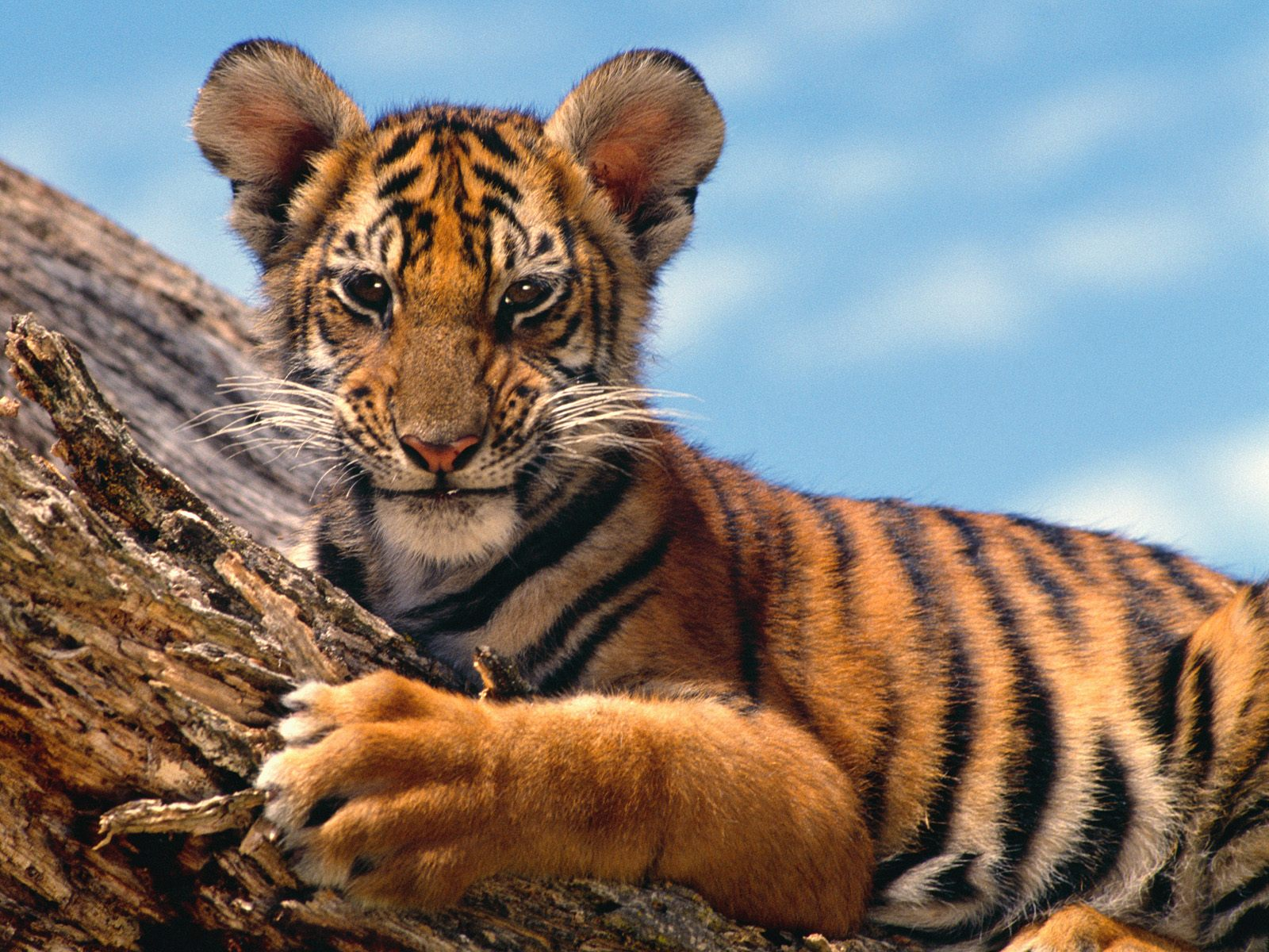 Collection of Baby Tiger Wallpaper on HDWallpapers
