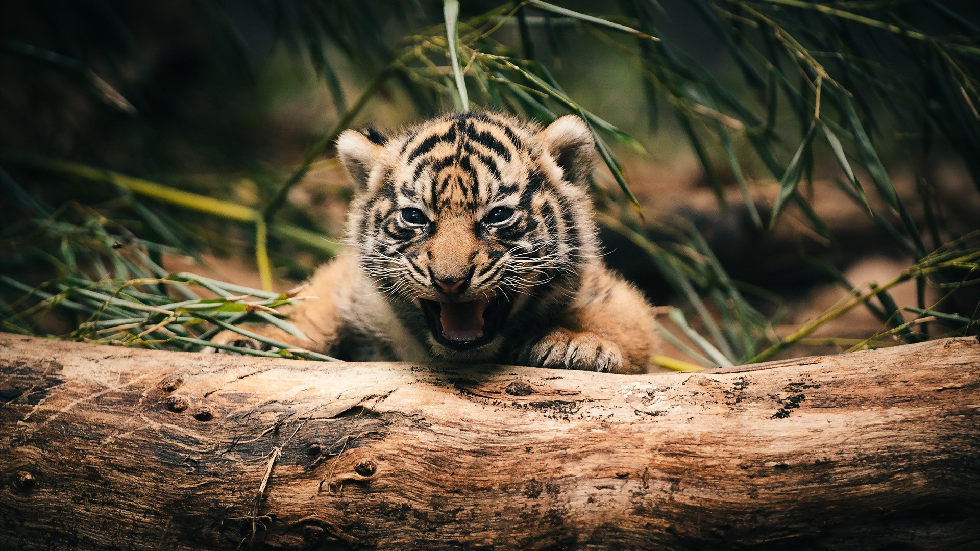 Collection of Baby Tiger Backgrounds on HDWallpapers