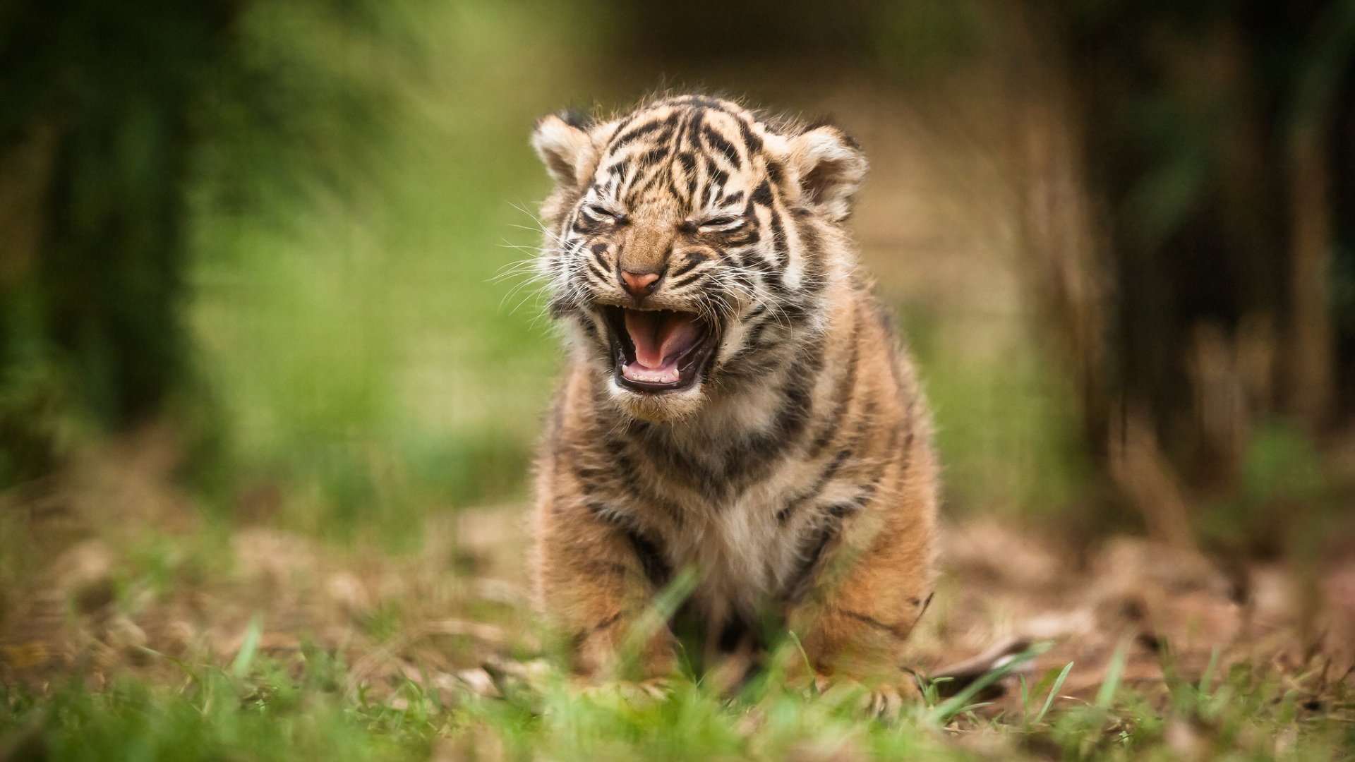 tiger baby wallpaper #12