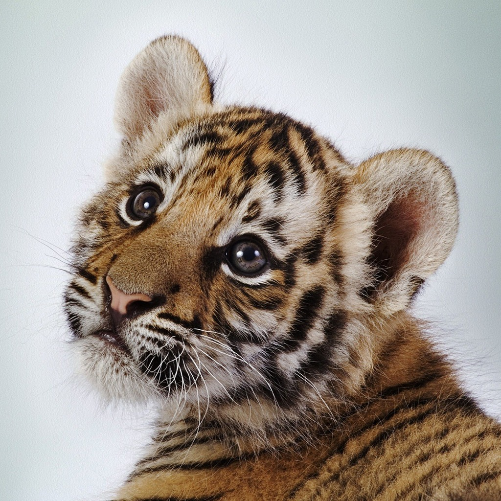 Baby Tigers Have Blue Eyes!