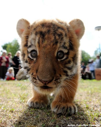 Baby Tiger - Cutest Paw