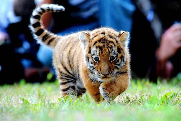 baby tiger pictures