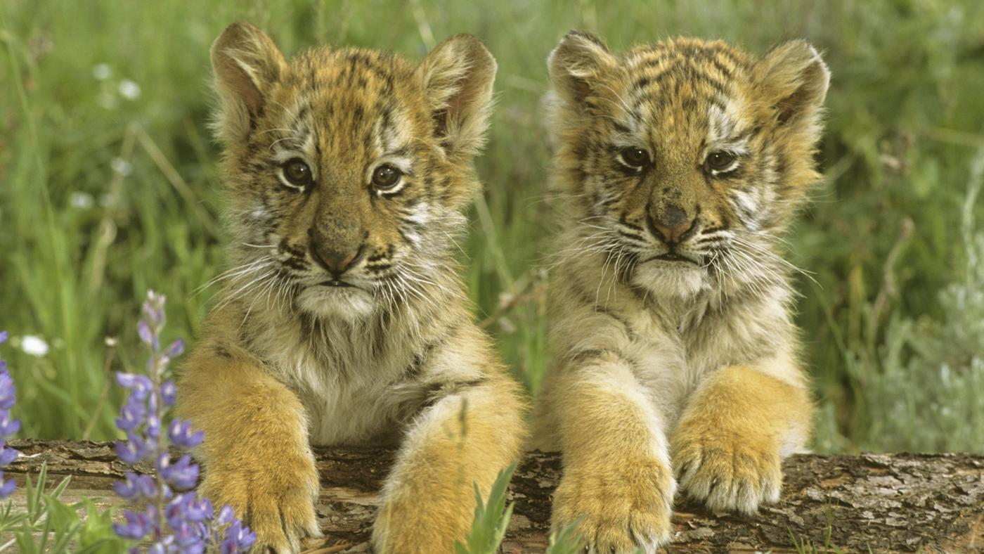 What is a baby tiger called? | Reference com