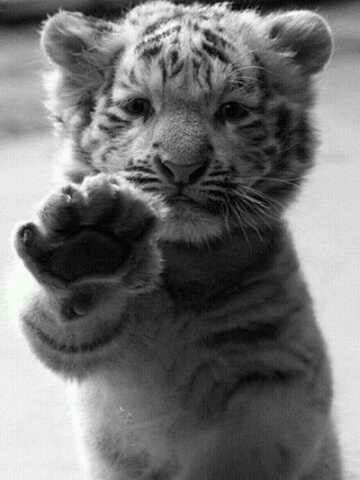 10 Best ideas about Baby Tigers on Pinterest | Tiger cubs, White