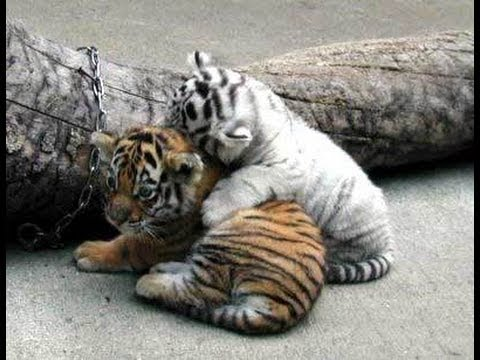 Collection of Baby Tiger Pictures on HDWallpapers