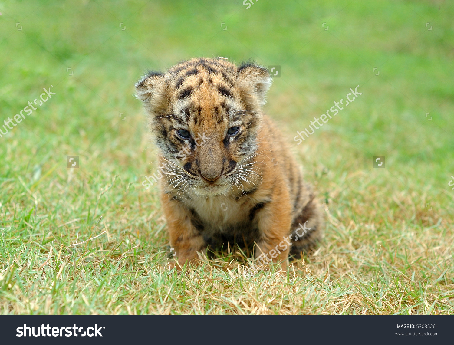 Baby Tiger Stock Photo 53035261 - Shutterstock
