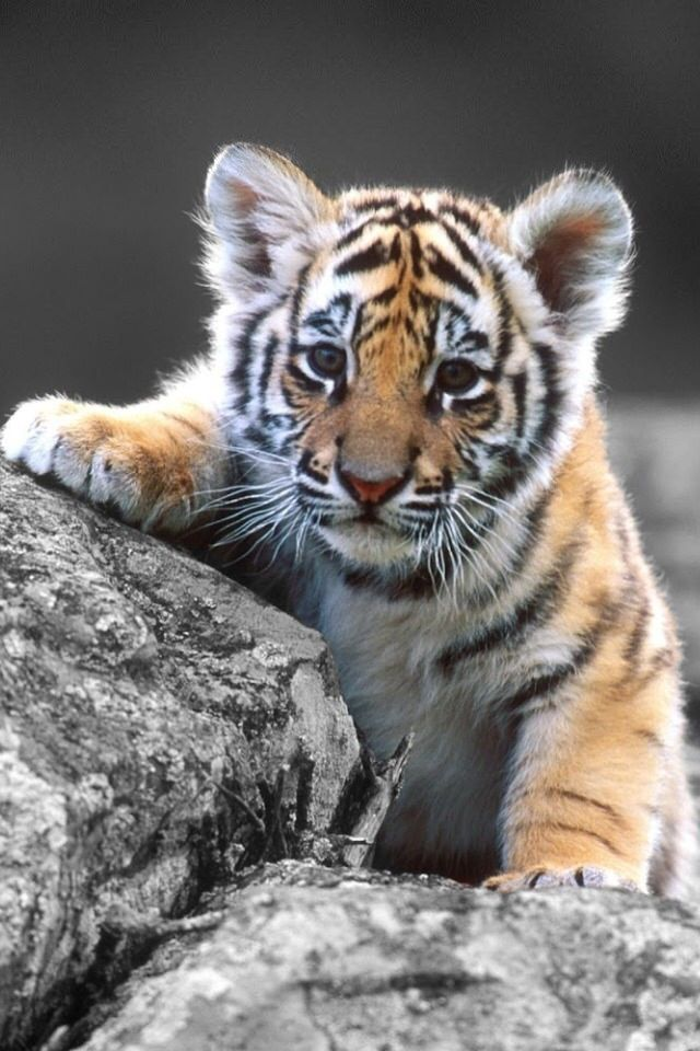 17+ ideas about Baby Tigers on Pinterest | Tiger cubs, White