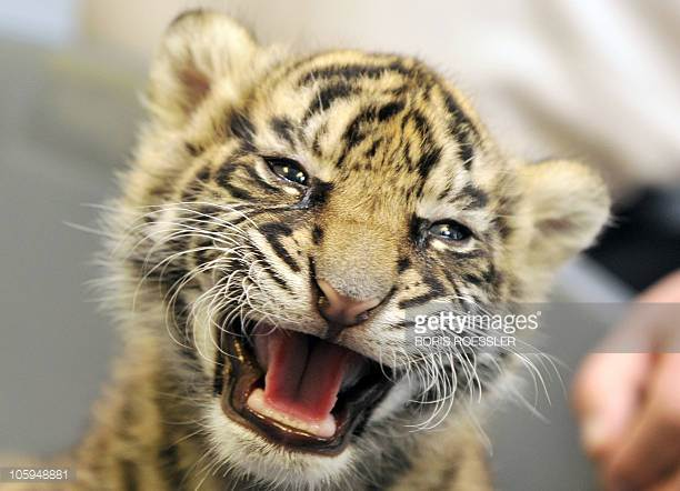 Tiger Cub Stock Photos and Pictures | Getty Images