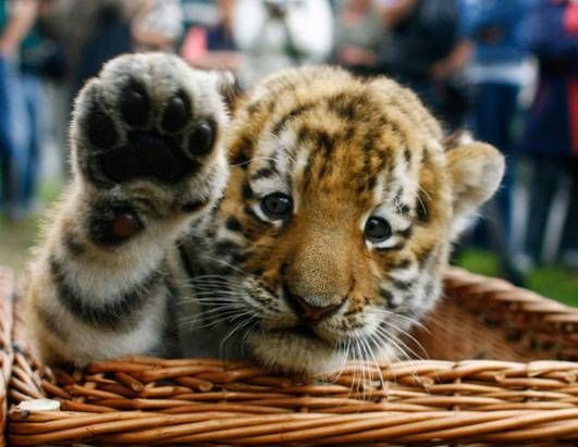 baby animals - Google Search AWWW a baby tiger | Baby Animals