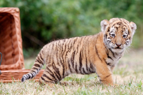 Baby Tiger | cute baby tiger for 2018659741 : save wild life and
