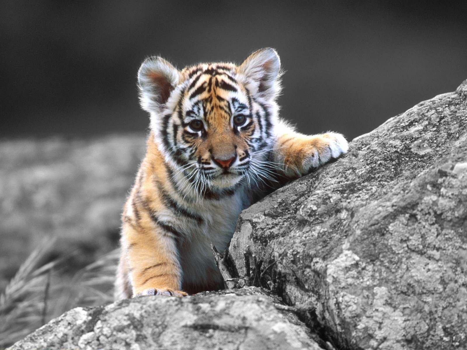 CXB : Baby Tiger Pictures, 44 Wallpapers of Baby Tiger High Resolution
