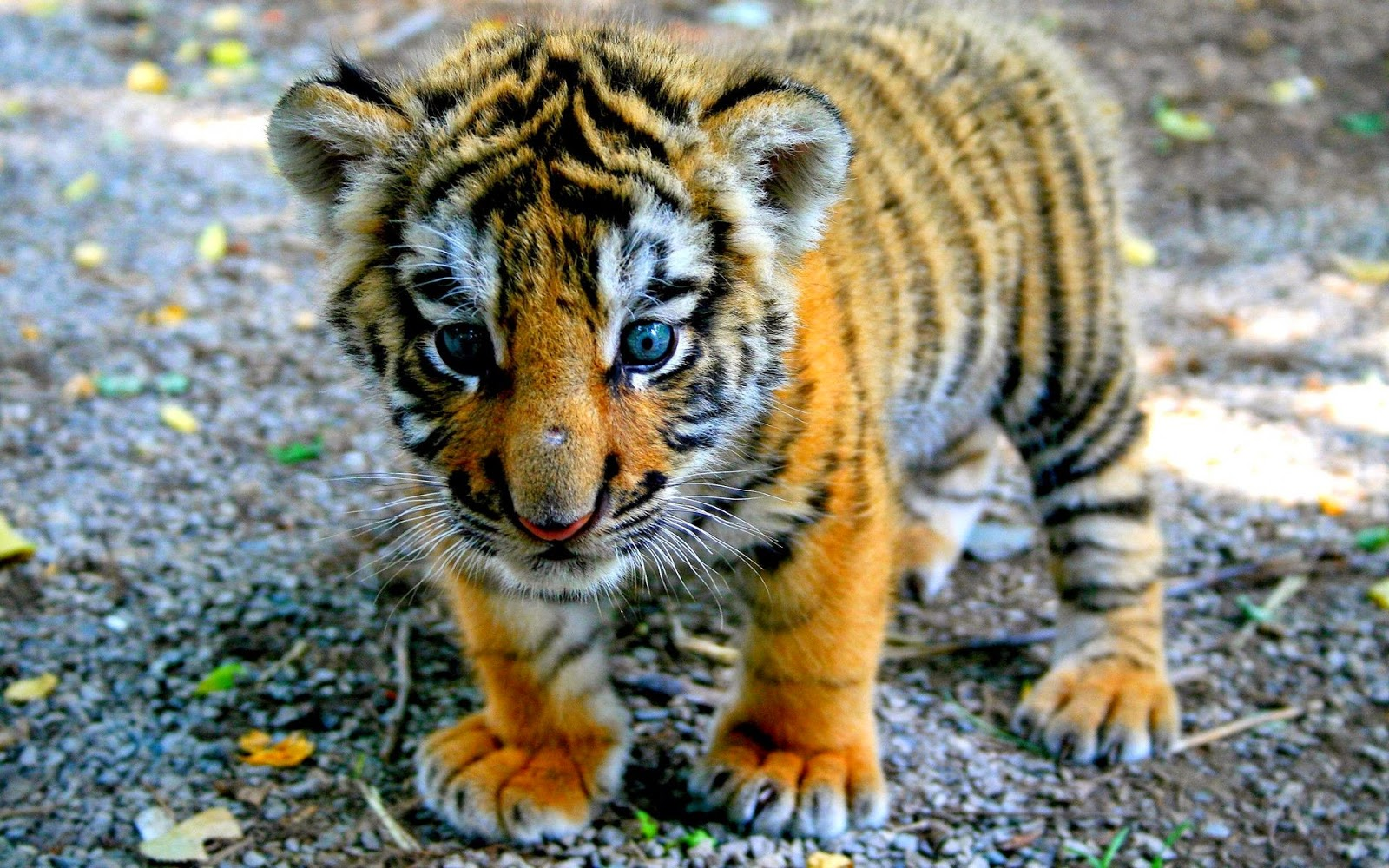 44 units of Baby Tiger Pictures