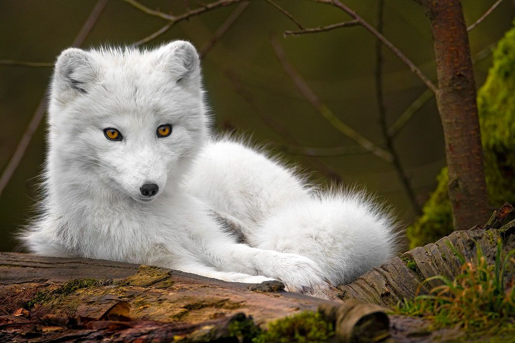 Baby wolf wallpapers | Baby Animals