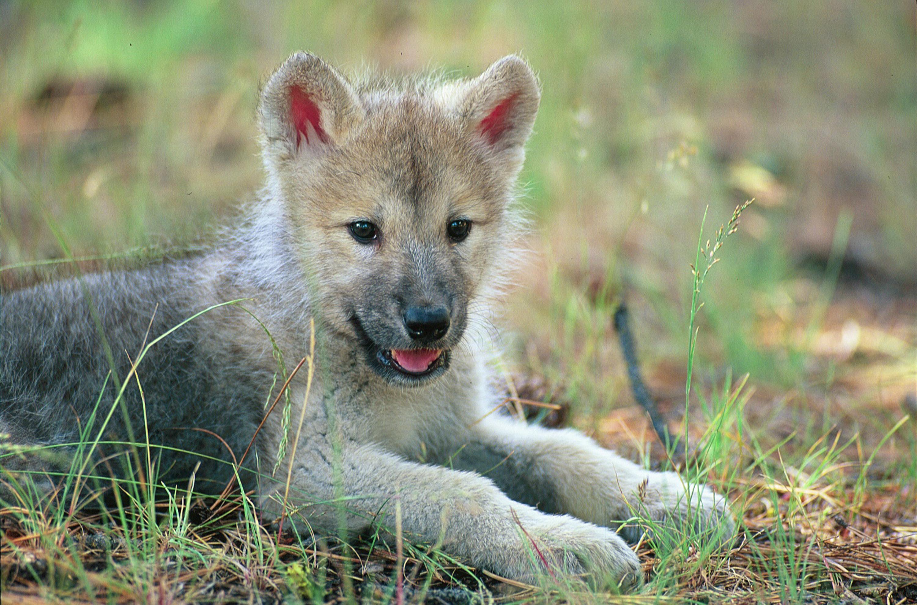 Baby Wolf Wallpaper - WallpaperSafari