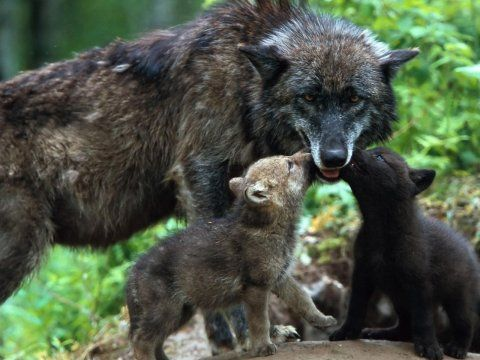 Baby Wolves | Wolf Baby Wallpapers,Wolf Wallpapers & Pictures Free