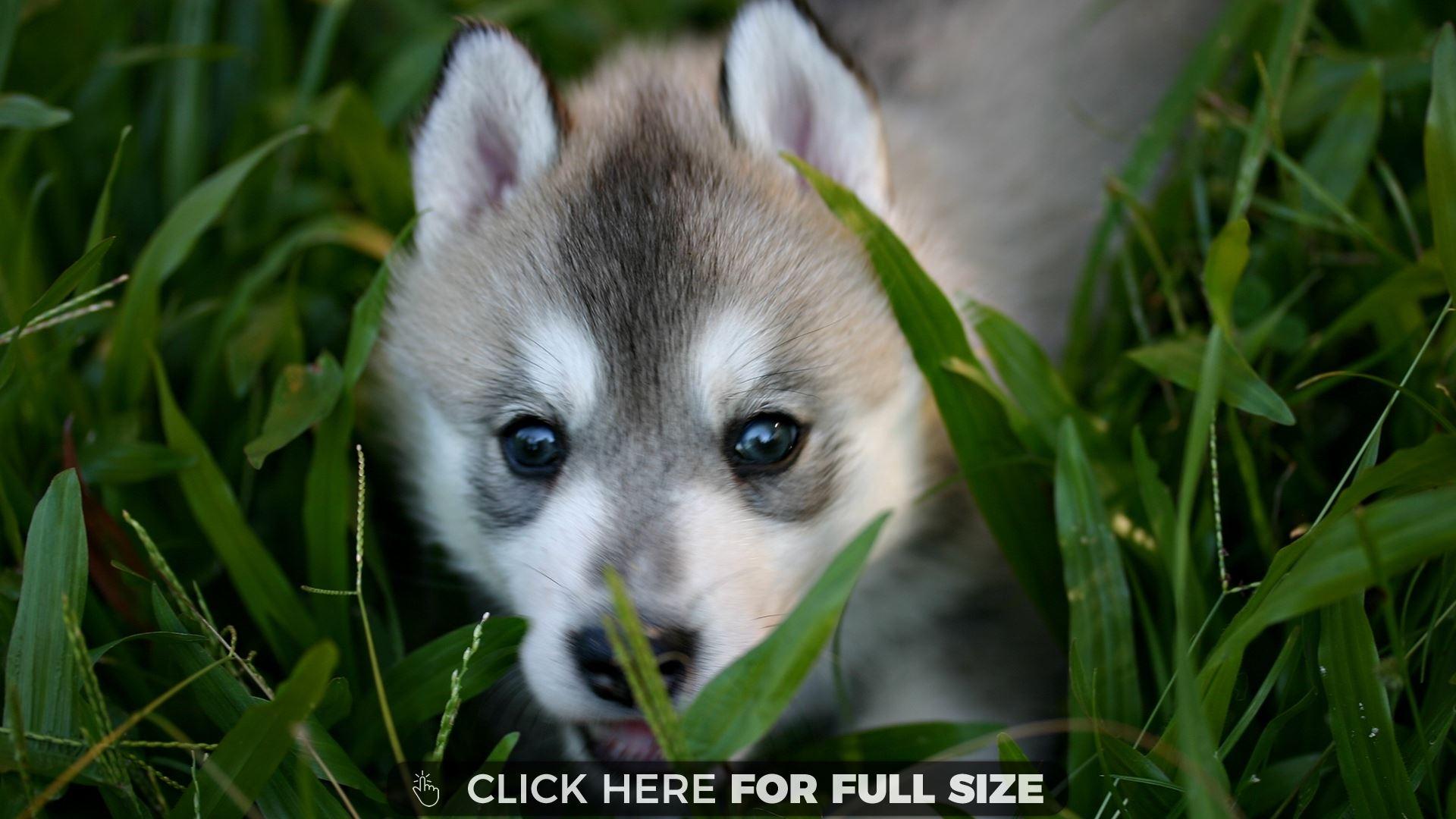 Baby Wolf wallpaper