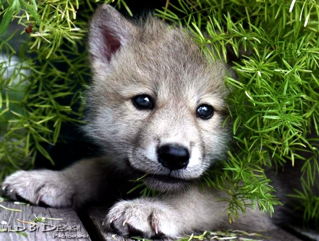 Baby Wolf Wallpaper Page 1