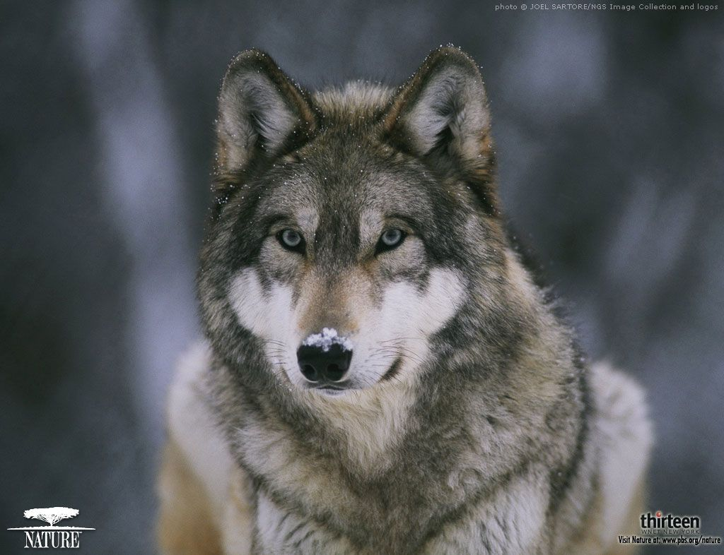 Baby Wolf Wallpapers - Wallpaper Cave